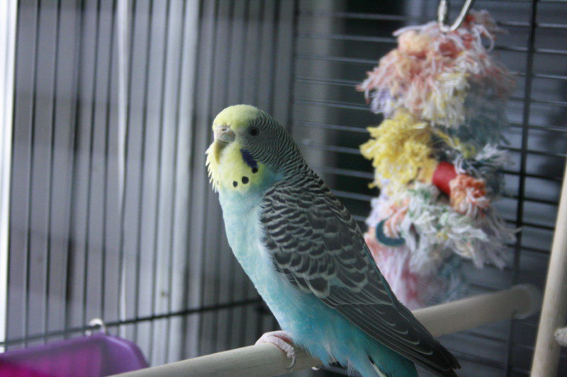 Our parakeet, Shiloh