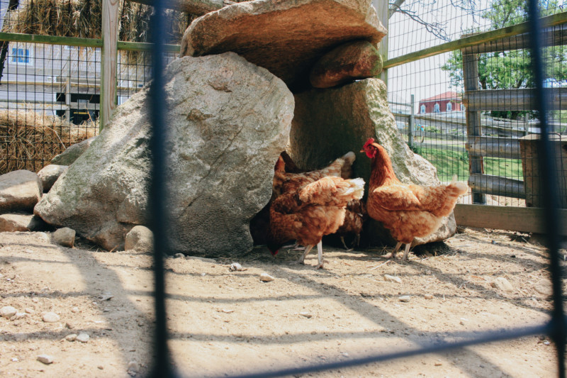 Chickens of Block Island