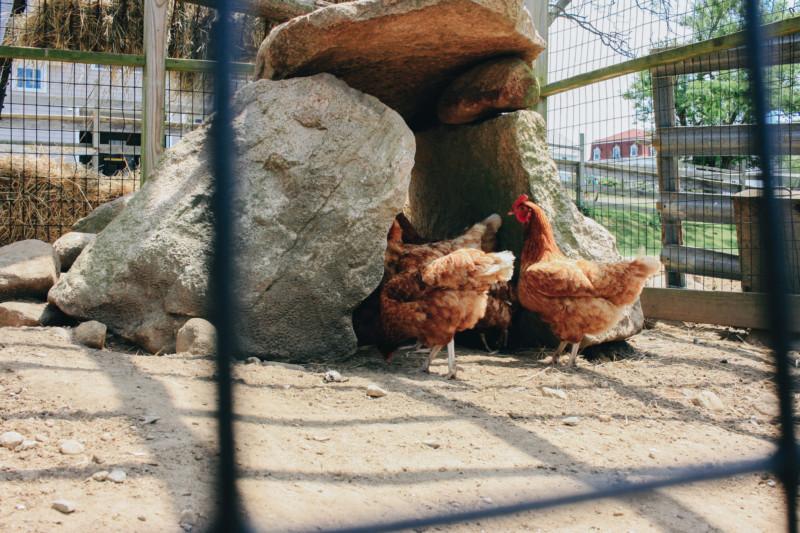 Chickens of Block Island