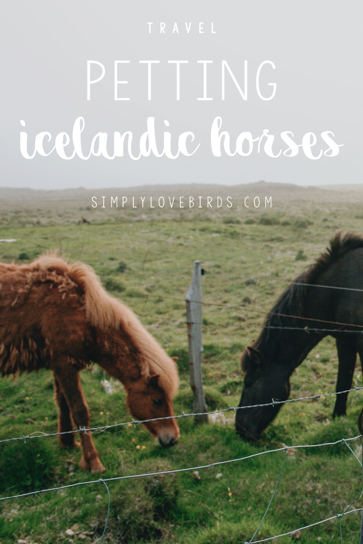 Petting Icelandic Horses. Read more on simplylovebirds.com.