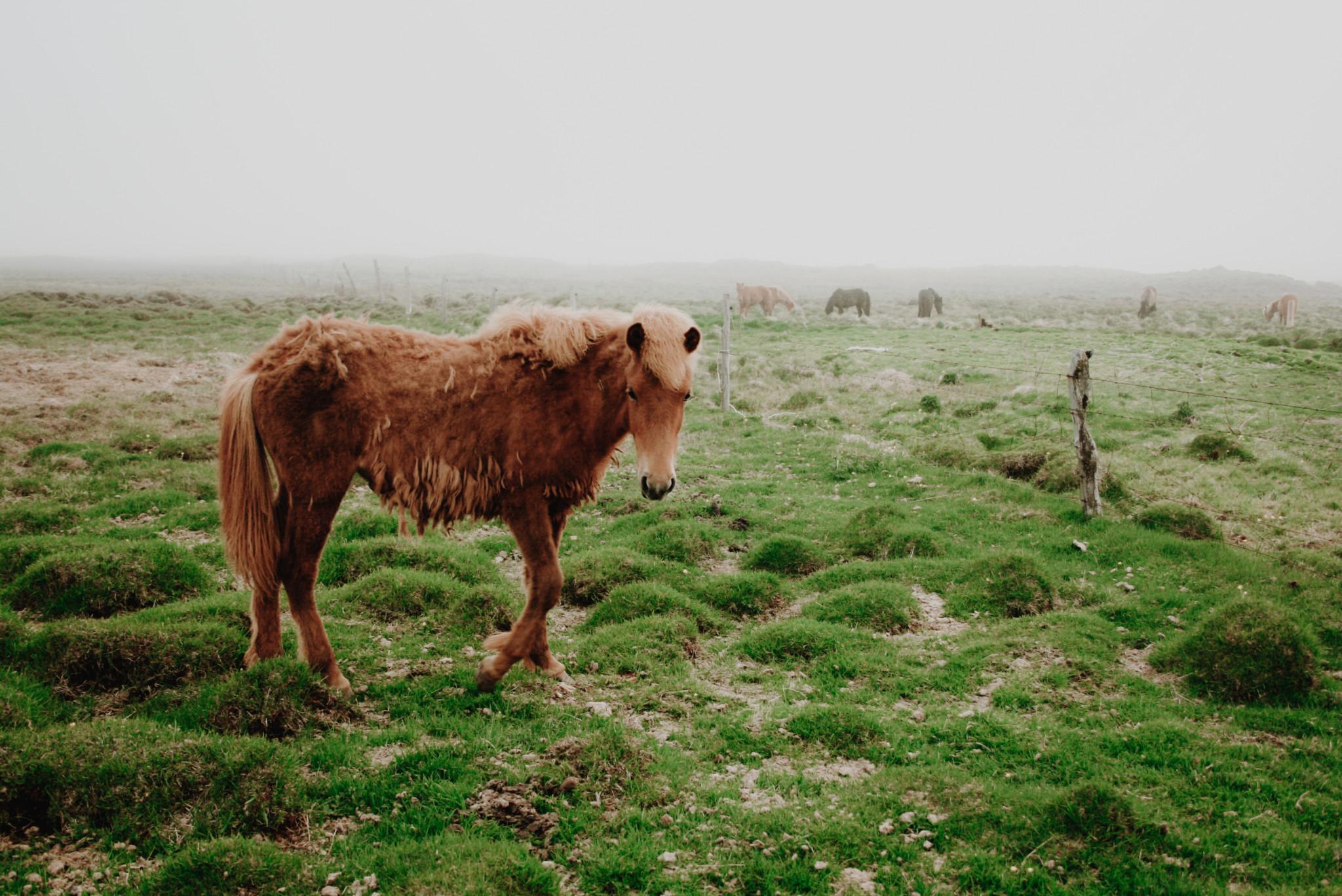 Icelandic Horse in the Fog