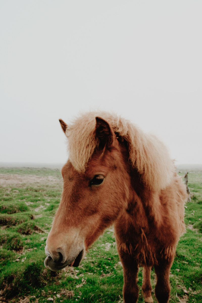 Icelandic Horse in the Fog