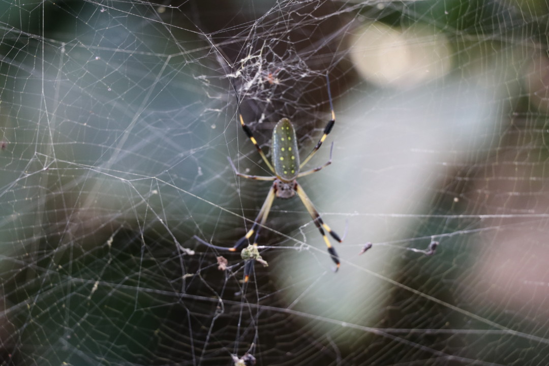 Golden Orb Weaver Spider, Mawamba Lodge