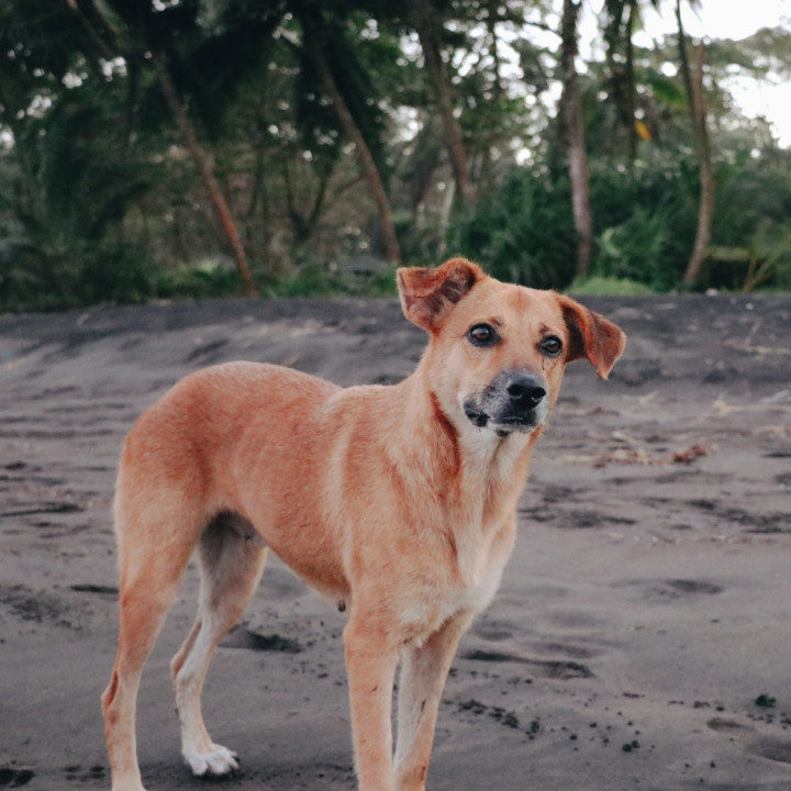 Stray Dog at Tortuguero Beach, Costa Rica