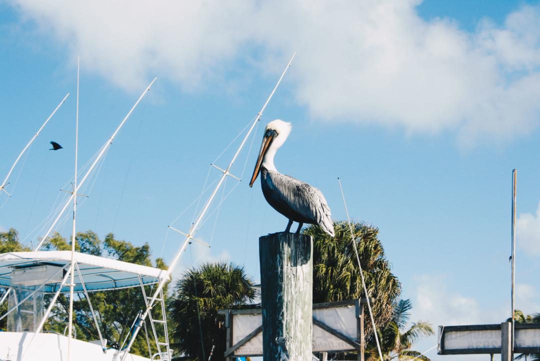 Pelican, Fort Lauderdale, Florida