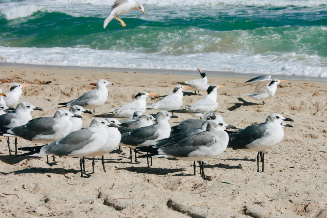 Seagulls, Fort Lauderdale Beach, Florida