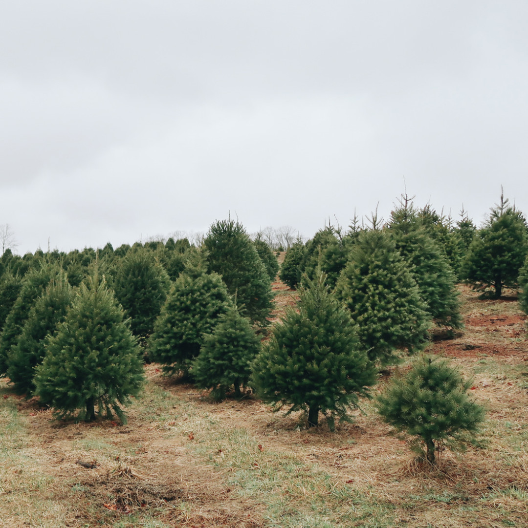Christmas Trees at Geer Tree Farm in Connecticut