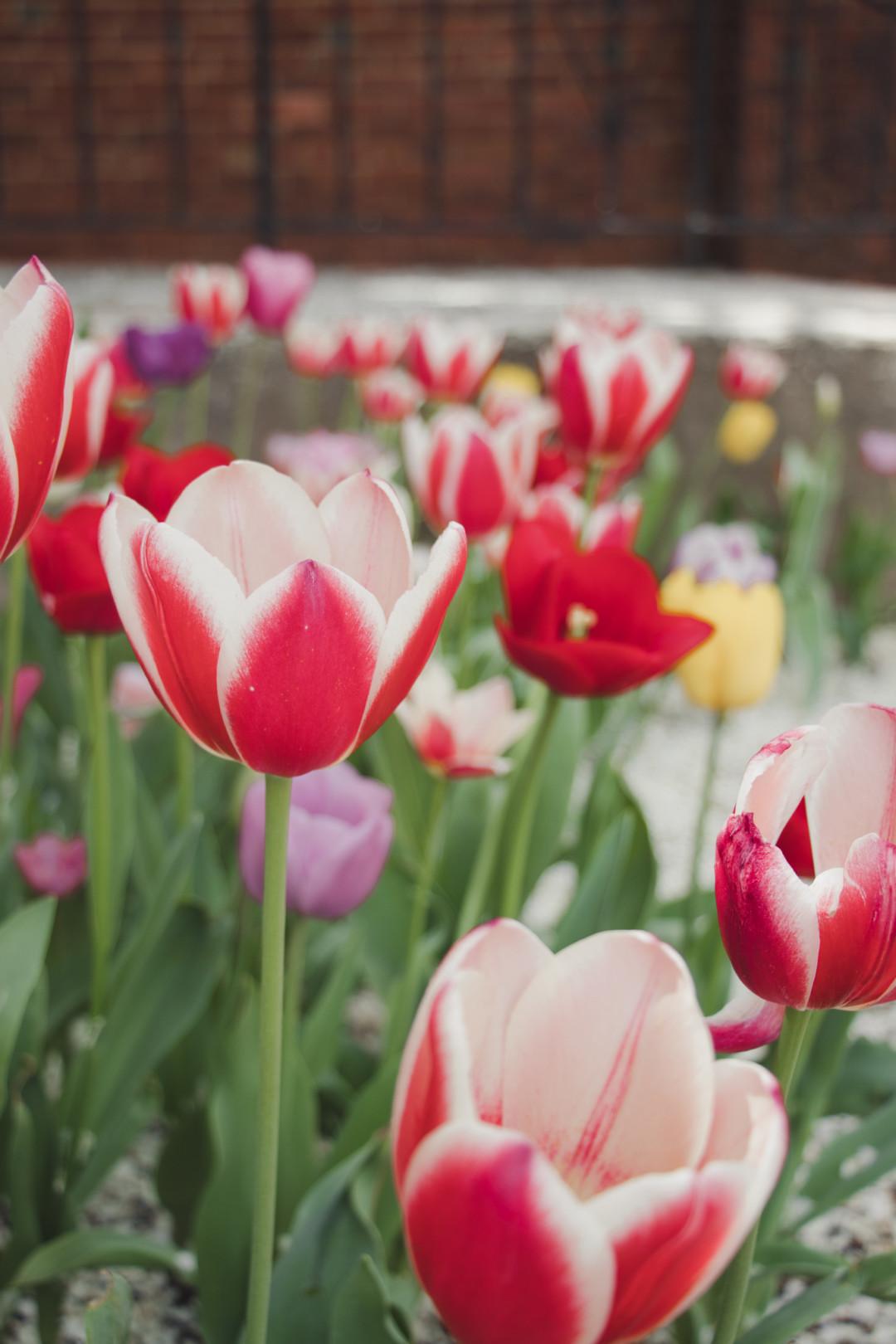 Tulips at Yale University