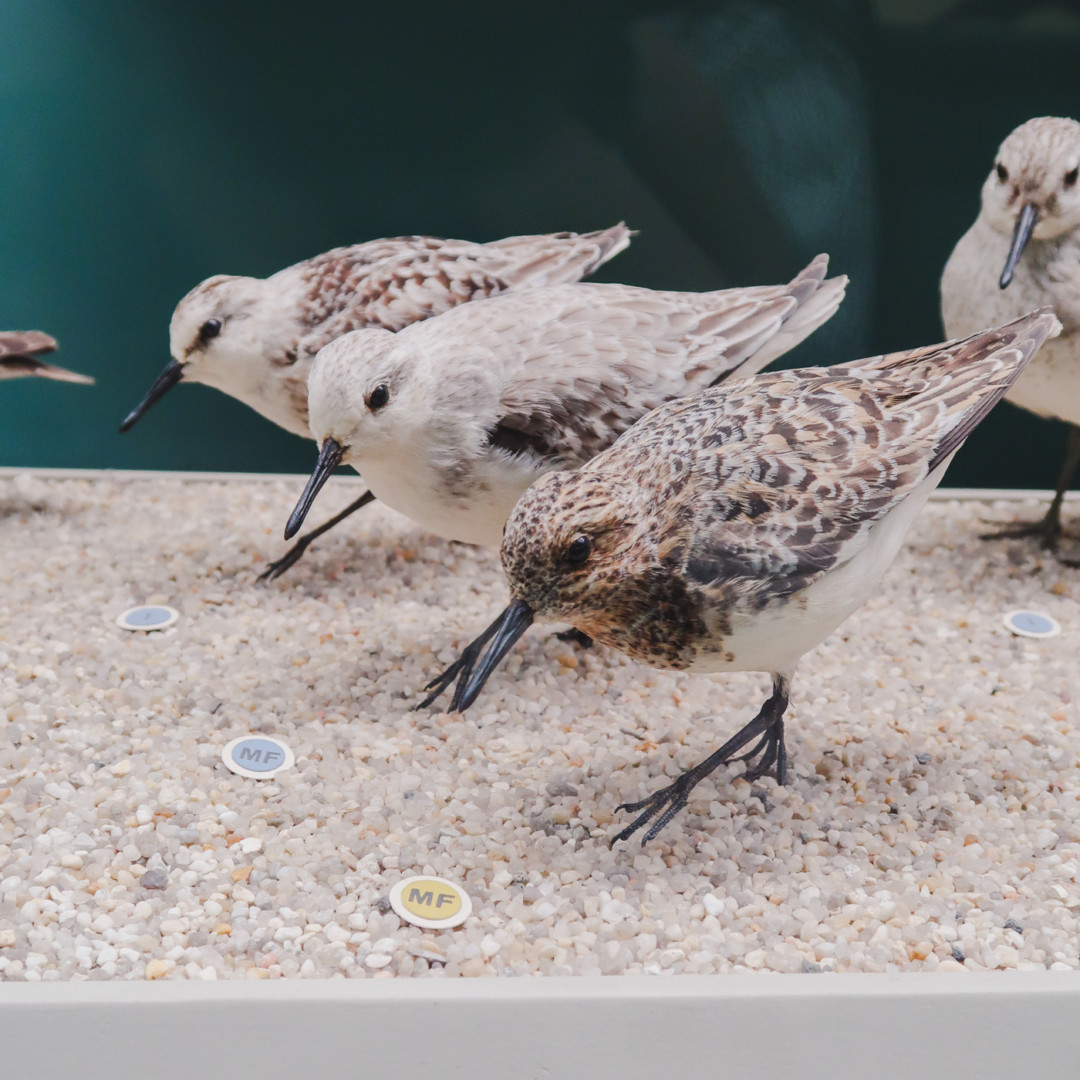 Sandpiper at Peabody Museum, New Haven, CT
