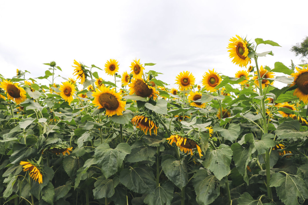 Field of Sunflowers at Buttonwood Farm in Griswold, Connecticut