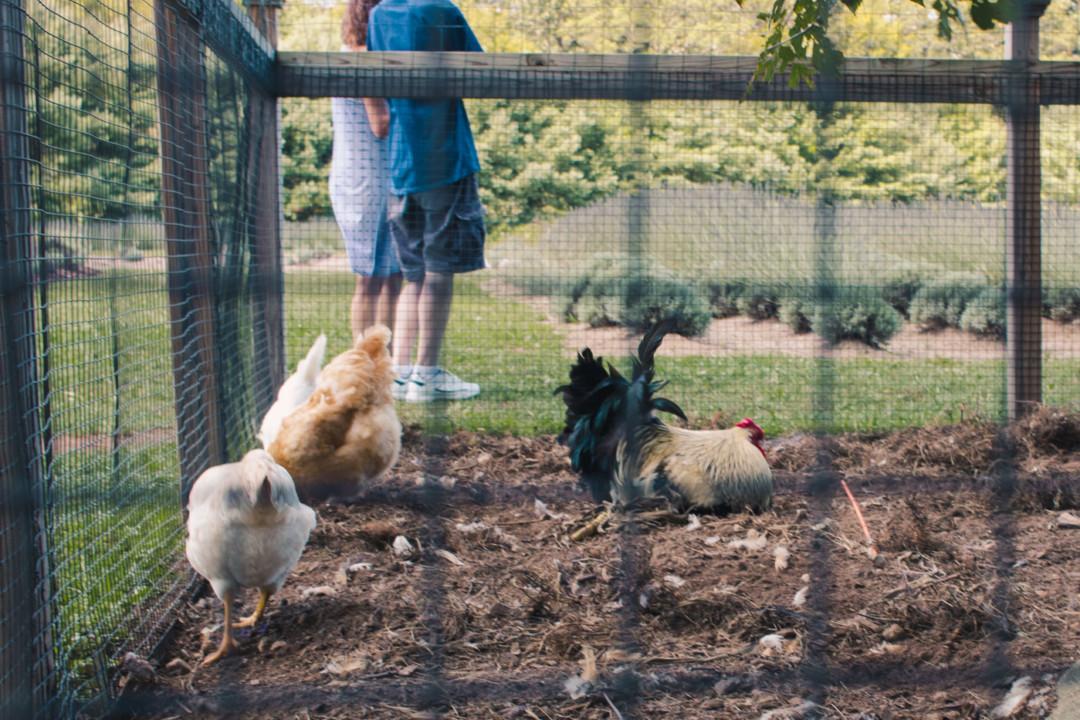 Chickens at Lavender Pond Farm